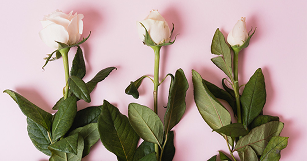 Bí quyết để hoa hồng phát triển tốt, không bị sâu bệnh